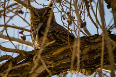 Great Horned Owl (Daren Grilley) Tags: birds lancaster california antelope valley palmdale los angeles county nikon d850 200500 owls