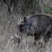 Common Warthog (Bale Mountains NP)