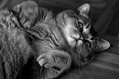 I dreamed I was a cat #ThroughHerLens (7 Blue Nights) Tags: cat pet blackandwhite monochrome mono cute sweet face portrait bw looking lookup sony dream throughherlens animal feline