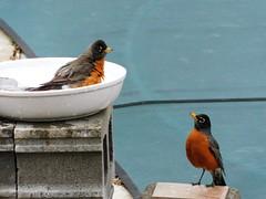 Body Language (starmist1) Tags: robins thrush birdbath bathing spring waiting wintercover pool poolskirting concreteblocks robin tworobins ceramicbowl bowl april cool partlycloudy