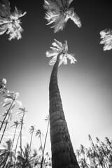 Invisible Light (Jake_Rogers) Tags: jakerogersphotography jakerogers monochromatic monochrome infraredblackandwhite infraredlight infraredlandscape blackandwhite trees palms palmtrees bigisland hawaii