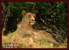 FEMALE LIONESS (Panthera leo)....MASAI MARA......SEPT 2018 (M Z Malik) Tags: nikon d800e 400mmf28gedvr kenya africa safari wildlife masaimara keekoroklodge exoticafricanwildlife exoticafricancats flickrbigcats leo lioness ngc npc