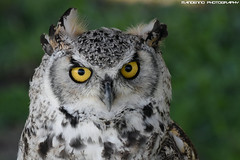 Candian eagle owl - Falconry fair (Mandenno photography) Tags: animal animals dierenpark dierentuin dieren ngc nature nederland netherlands falconry falconryfair owl owls canadian eagle eagleowl tilburg valkerij valkerijbeurs bird birds birdofprey