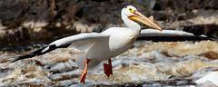 Jumbo Jet - Bird Style (Images by Beaulin) Tags: rapidriver wildlife birds pelecanuserythrorhynchos waterbirds clementson americanwhitepelican lakeofthewoodscounty minnesota