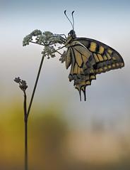 Papilio machaon (enekopy) Tags: papilio machaon mariposa alava urrunaga macro apilado