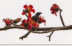 Common myna (Halder Ujjwal) Tags: commonmyna nature wildbirds birds birdsofbangladesh শালিক শিমুলফুল bangladesh beautiful beautifulbangladesh spring halderujjwal ngc canon 7dmarkll