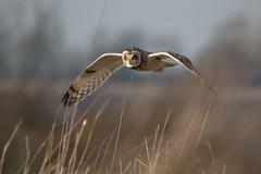 SEO 6 (ossie.g) Tags: owl short eared asio flammeus