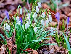 19-02-19 nah blü viol weiss krok schneegl text _dsc1200 (ulrich kracke (many thanks for more than 1 Mill vi) Tags: blüteviolett c6 krokus nah schneeglöckchen weiss