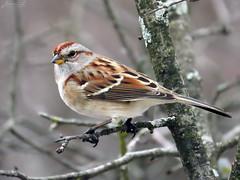 American Tree Sparrow RP IMG_4144 (Jennz World) Tags: ©jennifermlivick americantreesparrow sparrow riversidepark cambridge ontario canada bird