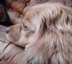 Roni (Santiago Stucchi Portocarrero) Tags: miraflores lima perú santiagostucchiportocarrero roni perro can cane dog hund hound chien