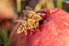 Bienchen (Sandra Hieber) Tags: biene bee sunlight spring color sun light beautiful plant canon garden yellow gelb sonne licht farbe pflanze frühling garten bayern bavaria macro makro sunshine kammeltal insekt insect red rot