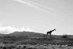 Standing Watch (belleshaw) Tags: blackandwhite livingdesertzooandgardens palmdesert giraffe landscape hills sky clouds animal profile silhouette tall neck beauty desert