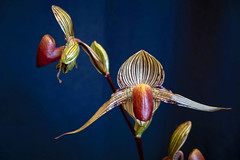 Paphiopedilum (San Francisco Gal) Tags: orchid paphiopedilum flower fleur bloom blossom pacificorchidexposition 2019 ladysslippers slipperorchid ngc npc