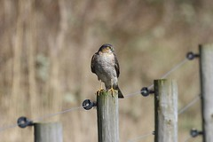 0M2A5023 Sparrowhawk male (kevin_livesey) Tags: nisus accipiter falcon raptor sparrowhawk birdwatching bird marshside rspb