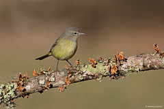 Orange-crowned Warbler (anthonylouviere) Tags: bird birding orangecrownedwarbler warbler
