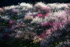 Plum Garden (kimagure_camera) Tags: plum garden japan takao 梅 梅園 日本 landscape
