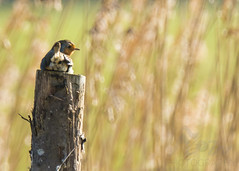 Cock Robin (Fourteenfoottiger) Tags: explore bird wildbird wildlife sitting perch robin reedbeds bokeh britishcountryside