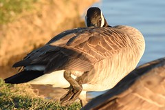 Peek (AuntNett) Tags: nikon d7200 hanford ca park hiddenvalleypark goose canadiangoose canadagoose