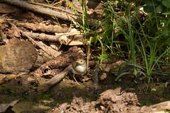 Neddicky, Lekkerleef, Bela Bela, Limpopo, Dec 2018 (roelofvdb) Tags: 2018 681 belabela cisticola date december lekkerleef limpopo neddicky place southernafricanbirds year