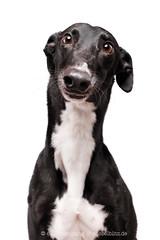 Julie the greyhound (Wieselblitz) Tags: dog dogs dogphotography dogphotographer dogportrait doginthestudio pet pets petphotography petportrait petphotographer cute cuteness cutedog directeyecontact direct portrait portraitpet studio studioportrait studiodogportrait