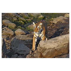 Bengal Tiger, Ranthambhore National Park, Rajasthan, India (Monica Max West) Tags: india indianwildlife wildlife nature wildlifephotography wild tiger bengaltiger monkey primate bigcat endangered