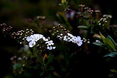 Bridal Wreath (judy dean) Tags: 365the2019edition 3652019 day86365 27mar19 judydean 2019 bridalwreath spiraea white flowers shrub garden