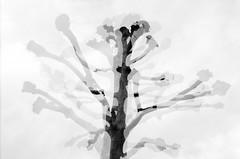 Shifting Trees (quadruple exposure) (JamieDieu) Tags: 35mmfilm blackandwhite ilford dslrscan