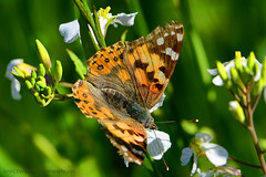 Painted-Lady_01 (DonBantumPhotography.com) Tags: wildlife nature bugs insects butterflies paintedlady donbantumcom donbantumphotographycom