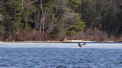 LEM5 (GrfxDziner) Tags: american bald eagle immature haliaeetus leucocephalus grfxdziner dc kerimccarthydrive gwennie2006 dcmemorialfoundation canon rebel t6 rebelt6 eos efs 75300mm