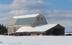 The blue and the grey (yooperann) Tags: grey barn blue sky cows snow upper peninsula michigan clouds rural