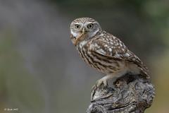 Mochuelo europeo (Sento74) Tags: mochueloeuropeo athenenoctua aves birds rapaces rapaz nikond500 tamron150600g2 ngc