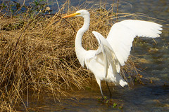 Great_Egret_09 (DonBantumPhotography.com) Tags: wildlife nature animals birds greategret donbantumcom donbantumphotographycom