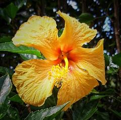 hibisco (Jakza) Tags: flor amarelo