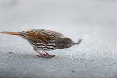 Fox Sparrow and Prey-40062.jpg (Mully410 * Images) Tags: birdwatching worm backyard caterpillar bird birds sparrow foxsparrow prey slug birder birding