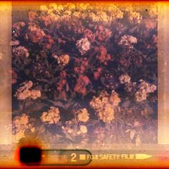 flowers (pho-Tony) Tags: 126 bencinicomet126x bencini comet x plastic italy italian instamatic 28mmx28mm square cartridge expired fuji fujicolor tetenal c41 degraded deteriorated