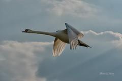 Swan flies home (THW-Berlin) Tags: swan vögel birds schwan animals tiere himmel flug sony alpha6500