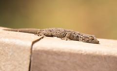 Moorish Gecko (Tarentola mauritanica) (piazzi1969) Tags: elements moorishgecko tarentolamauritanica commonwallgecko geckos reptiles herps herpetology porugalö algarve wildlife nature quintadolago fauna canon eos 7d markii ef100400mm
