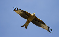 Red Kite (wayne.withers1970) Tags: small large pretty bird wings fly flight flying color colorful nature natural colour colourful wild wildlife wales flickr naturephotography country countryside outside outdoors alive fauna canon sigma light black white red brown river sea coast feathers fine dark animal raptor kite autumn redkite birdofprey kidwelly