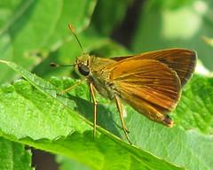 Southern broken-dash - lifer!  (Wallengrenia otho) (Vicki's Nature) Tags: southernbrokendash small butterfly skipper cnc georgia vickisnature canon s5 7326 golden yellow