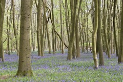 Memories of spring (MJ Harbey) Tags: trees bluebells leaves ashridgeestate nationaltrust hertfordshire nikon d3300 nikond3300 hyacinthoidesnonscripta plantae scilloidae bluebell
