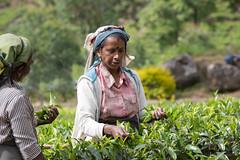 Cueillette du thé (Jacques GUILLE) Tags: nuwaraeliya srilanka thé cueillette tea plantation camelliasinensis ceylan