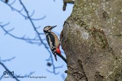 Pic épeiche ♂ - Explored (Oric1) Tags: bird oiseau nature wildlife breizh france eos oric1 côtesdarmor roux jeanlucmolle canon 22 bretagne brittany armorique