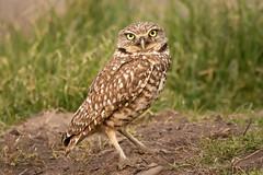 Burrowing Owl - Explore (alicecahill) Tags: ca usa wild wildlife ©alicecahill sanluisobispocounty bird burrowingowl owl
