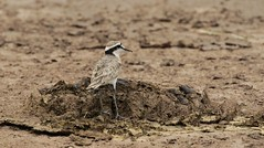 Kittlitz's Plover (douwesvincent) Tags: nature uganda oeganda africa world earth eco natural outdoor safari wild open holiday trip birding explore green flora fauna life