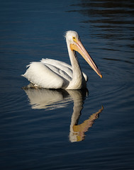 White-Pelican-11x14-6978 (fredborg) Tags: americanwhitepelican crescentlakepark florida stpetersburg bird breeding bumponbeak reflection