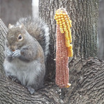GRAY SQUIRREL FILLING UP ON CORN thumbnail