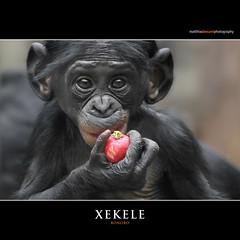 XEKELE (Matthias Besant) Tags: affe affen affenfell animal animals ape apes pygmychimpanzee fell zwergschimpanse hominidae hominoidea mammal mammals menschenaffen menschenartig menschenartige monkey monkeys primat primaten saeugetier saeugetiere tier tiere trockennasenaffe bonobo schauen blick blicken augen eyes look looking baby xekele bonobobaby child kind zoo zoofrankfurt matthiasbesant radieschen hessen deutschland