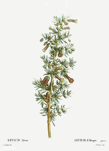 Kraal honey thorn (Lycium afrum) illustration from Traité des A