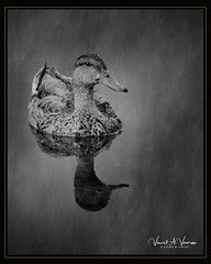 Floating Duckie (Visions by Vincent) Tags: duck reflections blackwhite monochrome nature fantasticnature bird nationalgeographicwildlife
