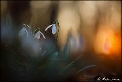 Schneeglöckchen im Abendlicht (Photography by Markus Lenzen) Tags: abenddämmerung abendlicht abendrot amaryllidaceae amaryllisgewächse besonderelichtstimmung bundesrepublikdeutschland deutschland flora frühblüher frühjahr frühling galanthusnivalis gegenlichtaufnahme germany himmel kleineschneeglöckchen lichtstimmungen nrw naturdokument naturfotografie nordrheinwestfalen pflanzenfotografie planzen planzenfotografie rur schneeglöckchen sonnenuntergang stillleben sunset wildlife winter ausgefalleneslicht farbenfroh flowers intensivefarben orange roter spring stilllifephotography stimmungsvoll warmeslicht wildlebend wildenatur